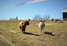 místní bizoni